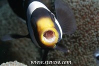 yawning anemone fish