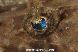 eye of crocodile fish