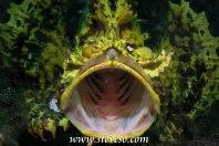 yawning scorpian fish