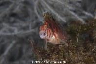yawning hawk fish